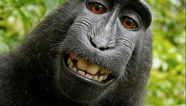 Monkey selfie cannot be copyrighted, says US regulator