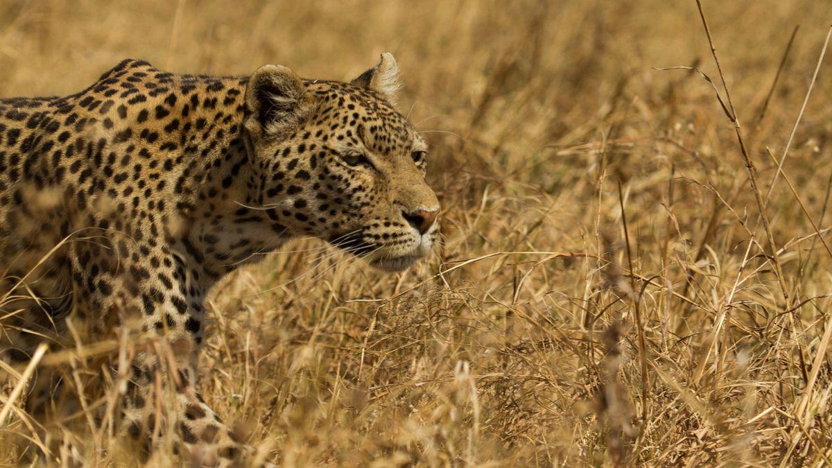 Leopard and Hyena: Strange Alliance